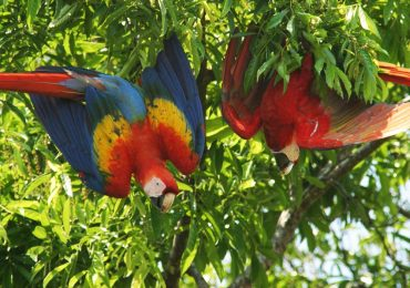 Scarlet macaw in Iquitos Amazon river tour
